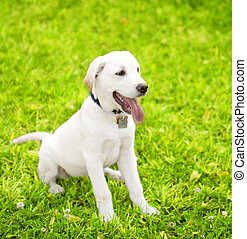 Cute Labrador Puppy On Grass 2 - cute little dog staying on...