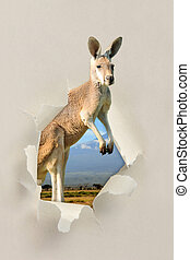 Kangaroo looking through a hole torn the paper