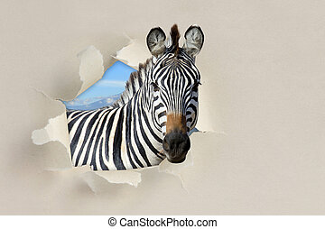 Zebra looking through a hole torn the paper - Zebra looking...