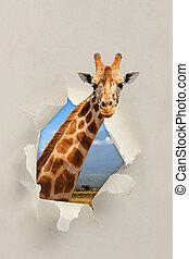Giraffe looking through a hole torn the paper - Giraffe...