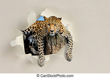 Leopard looking through a hole torn the paper - Leopard...