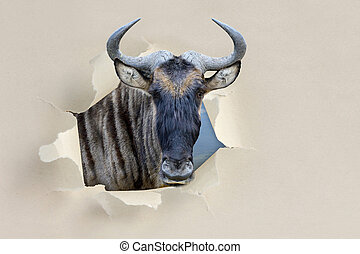 Wildebeest looking through a hole torn the paper -...