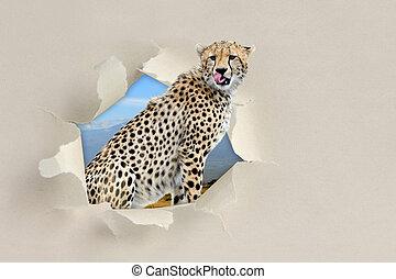 Cheetah looking through a hole torn the paper - Cheetah...