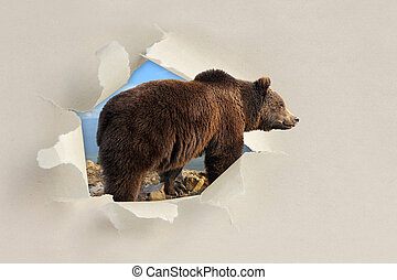 Bear looking through a hole torn the paper - Bear looking...