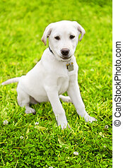 Cute Labrador Puppy On Grass - cute little dog staying on...