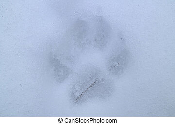 Wolf footprints on the snow field