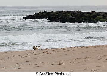 Seal on the Beach - A single seal relaxes on the beach in...
