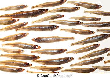 pequeño,  (smelts), pez,  5, arreglo