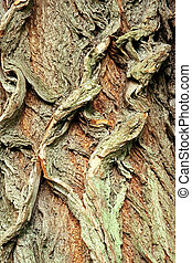 Background of bark of White Willow, Salix alba, closeup.