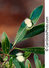 Furry galls on willow leaves - Galls are caused by Gall...