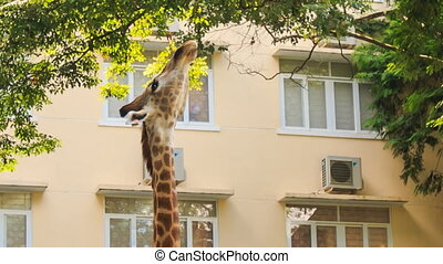 Giraffe Eats Peacefully Tree Leaves in City - view of...