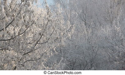 Wintertime View of frosted maple sways in wind, close-up