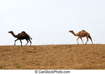 Camels in desert - Pair of dromedary camels in the desert...