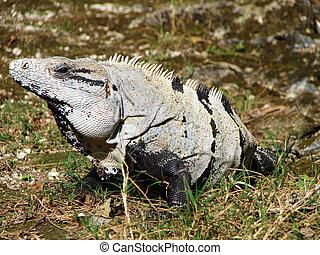 Close-up of large Iguana