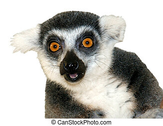 Close-up of ring-tailed lemur looking at camera isolated -...