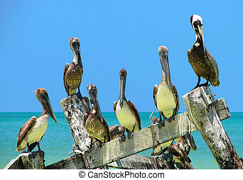 Crowd of Brown Pelicans perched on an old peer - Group of...