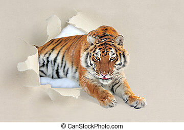 Tiger looking through a hole torn the paper - Tiger looking...