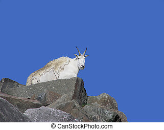 Mountain goat on top of rocky mountain - Mountain goat lying...