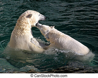 Polar bears playing and fighting