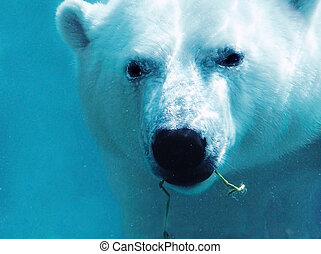 Polar bear underwater with plant close-up