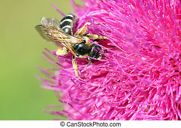 bee collects nectar on purple flower spring season