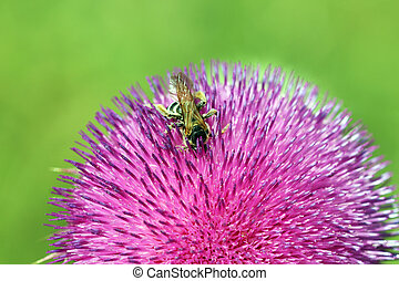 bee collects nectar on purple flower