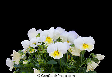viola cornuta flower isolated on black background