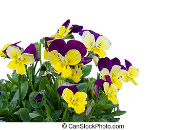 Viola cornuta flower isolated on white background