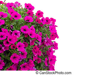 petunia isolated on white background