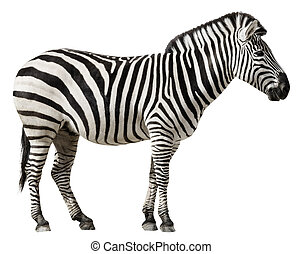 Zebra Isolated on a White Background - Grants Zebra (Equus...