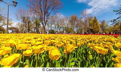 spring - tulips garden