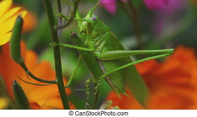 Green grasshopper on Aquilegia - Green grasshopper on a...