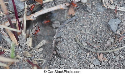Ants digging their nest - Red-clack ants digging their nest,...