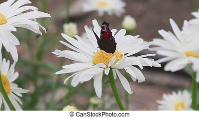Butterfly on daisy flower - European Peacock Aglais io...