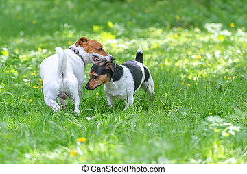 sex of two jack russel terrier