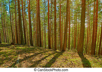 Bright Summer Pine Forest in Karelia - Bright Pine Forest in...