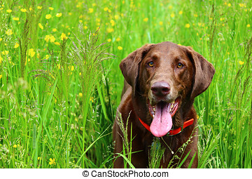 Chocolate Labrador on the run in the sunshine in the bright...
