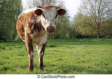 Bull Calf, English Longhorn - A single young male English...