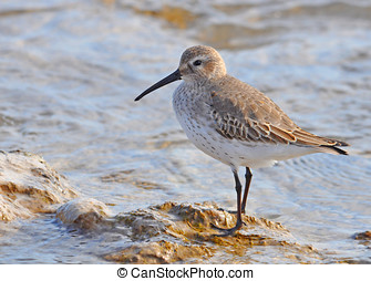 Dunlin - A beautiful Dunlin in winter plumage rests on the...