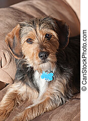 Yorkie Mix Mutt - Portrait of a young yorkie beagle mix dog...