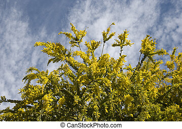 Mimosa bunch on tree - Bunch of mimosa flowers outdoors...