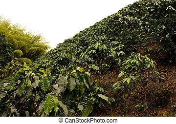 Coffee fields. Colombia - Fields and coffee plantations in...