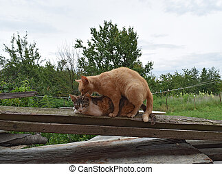 Mating domestic cats The natural behavior of the animals