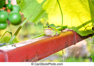little green frog sitting on a pipe next to a vineyard