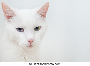 Portrait of white cat with different eyes. - Portrait of...