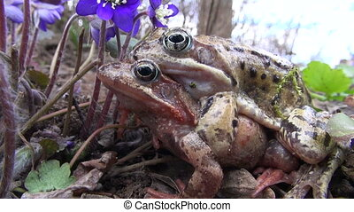Two traveling copulating frogs - Two traveling copulating...