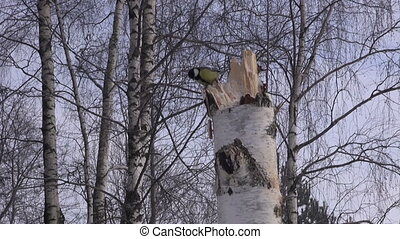 Tit on birch tree stump - Great tit on birch tree stump...