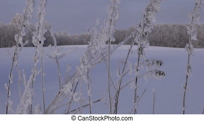 hoar frosted grass stalks in winter's field