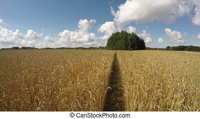 wheat field on sunny cloudy day - A path through ripe wheat...
