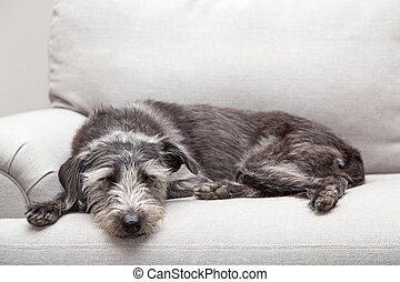 Sleeping Dog on Neutral Grey Color Couch - Mixed breed...